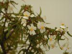 Begonia (tri)partita (maple-leaf bonsai begonia, succulent)