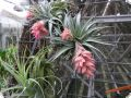 T. roseiflora